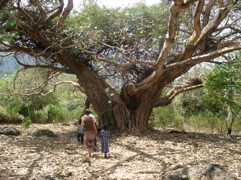 Kelsi, Fina, Billy and the Wakinga Fig Tree (over 150 years old!)